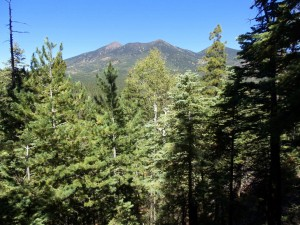 View of the San Francisco Peaks from Brookbank Trail
