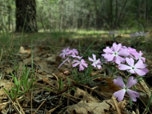 Spring Phlox near Mormon Lake