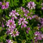 Three Creeks: Wildflowers along Alum Creek Trail